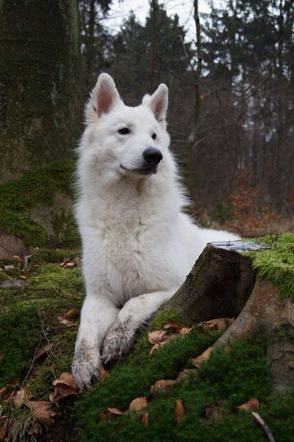 White Shepherd Weisser Schaferhund Hund Dog White German Shepherd White Shepherd Dogs