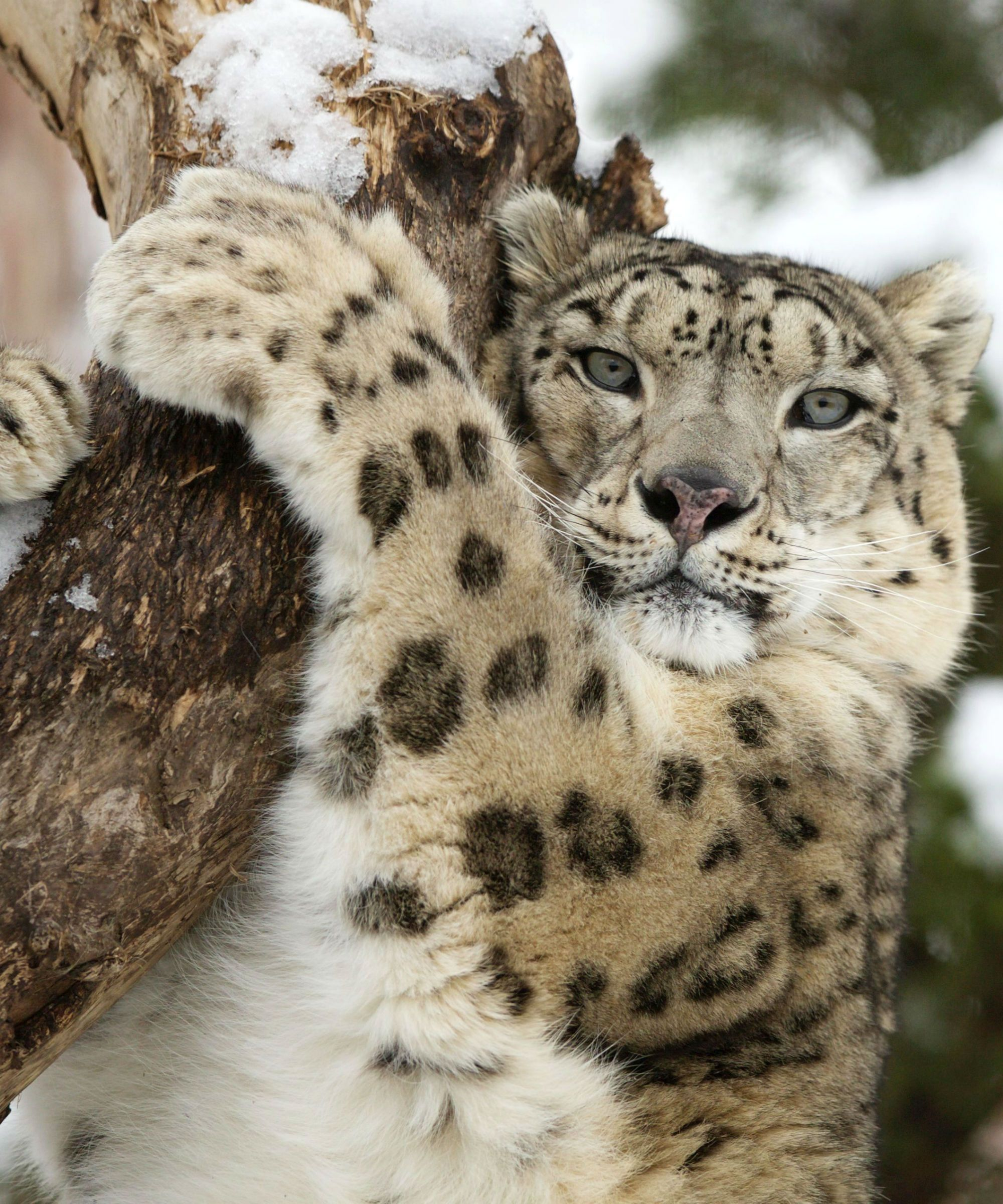 These Snow Leopard Cubs Are The Most Adorable Sisters Ever