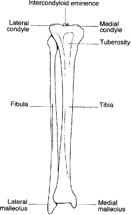 femur and tibia relationship
