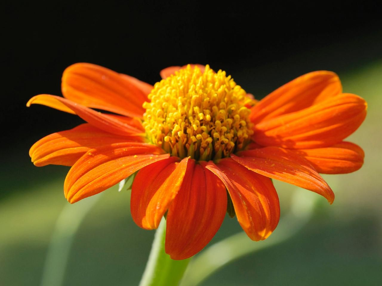 Plants That Bloom In Fall Mexican Sunflower Diy Garden Projects
