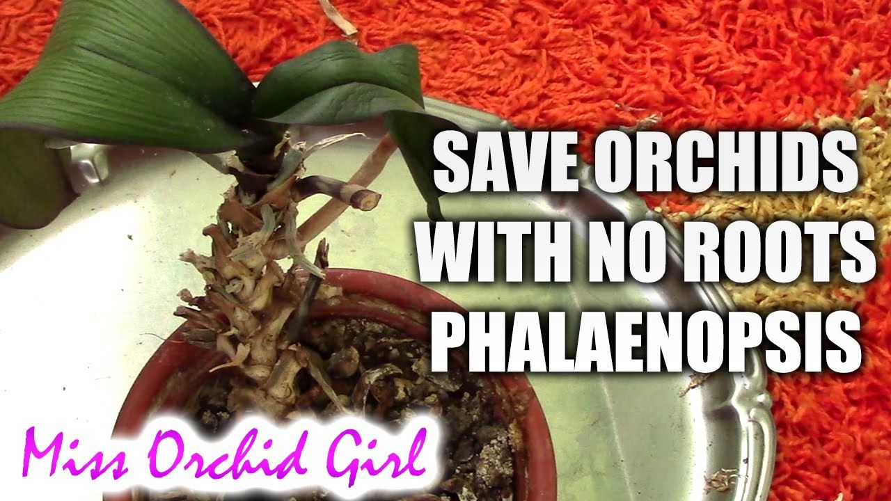 How to save a phalaenopsis orchid with no or with few roots plus