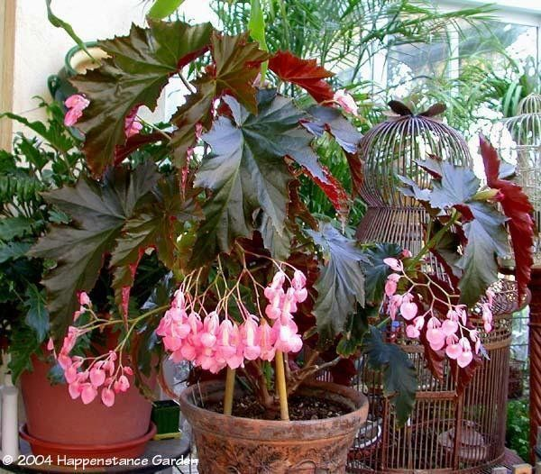 Irene Nuss Begonia Shade To Part Shade Blooms Year Round Do Not Over Water Begonia House Plants Flower Display