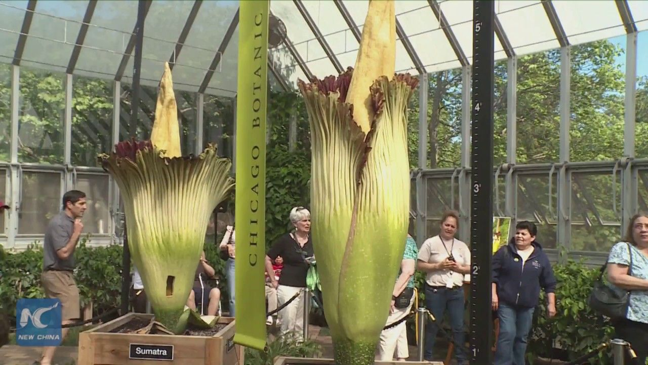 Not One But Two Rare Corpse Flowers Bloom At Chicago Garden Corpse Flower Bloom Corpse Flower Chicago Botanic Garden