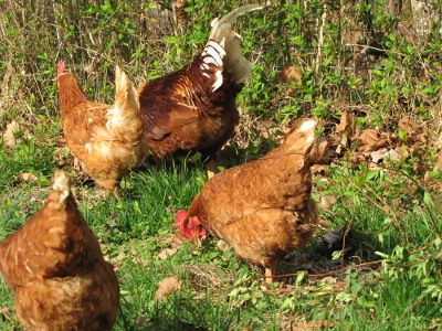 Chickens Eating Grass Chickens Pinterest