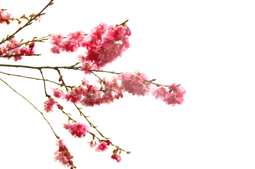 Cherry Blossom Branch Of The Prunus Genus X In Japan Cherry