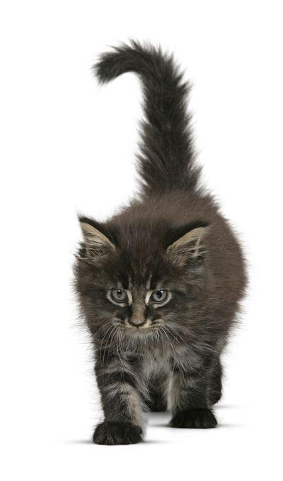 Maine Coon kitten #Cat