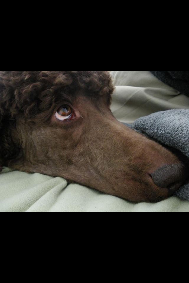 Love The Eyes For You Shannon Poodle Poodle Dog Standard Poodle