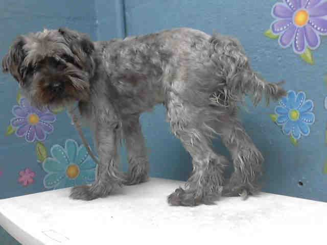 This DOG-ID#A4746657  I am described as a neutered male, black and gray Terrier mix  The shelter thinks I am about 3 years old.  I have been at the shelter since Aug 18, 2014. Back For more information about this animal, call: Los Angeles County Animal Control - Lancasterat(661) 940-4191 Ask for information about animal ID number A4746657