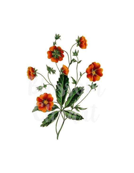 Png Vintage Flower Clipart Vintage Botanical Clip Art For Etsy In 2020 Flower Clipart Vintage Flowers Flowers