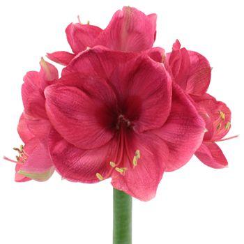 Pink Berry Amaryllis Flower Fiftyflowers Com Flower Meanings Amaryllis Flowers Amaryllis