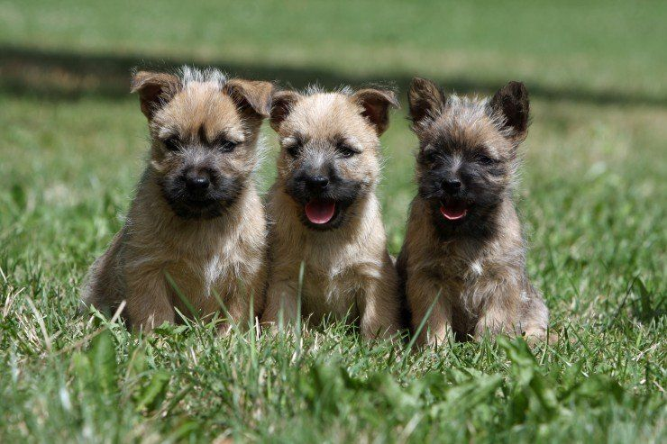 Cairn Terrier Dog Breed Facts Highlights Buying Advice Pets4homes In 2020 Cairn Terrier Puppies Cairn Terrier Dog Breeds