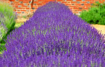 Hidcote A deliciously dark purple lavender, with grey foliage. Height 50cm (20in). Introduced in 1950. The real one - vegetatively propagated from material from the original plants. Beware of impostors! Size: 9cm pot. (Very hardy lavender angustifolia) EG