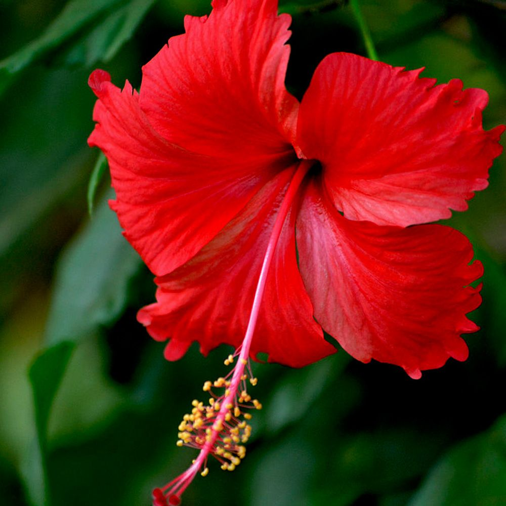 Love And Reproduction Plant Gallery Hibiscus Plant Hibiscus Tree Hibiscus
