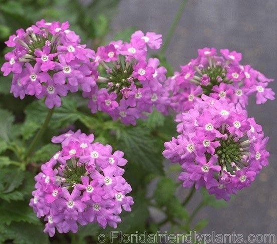 Tampa Verbain Flower Farm Butterfly Plants Hummingbird Plants