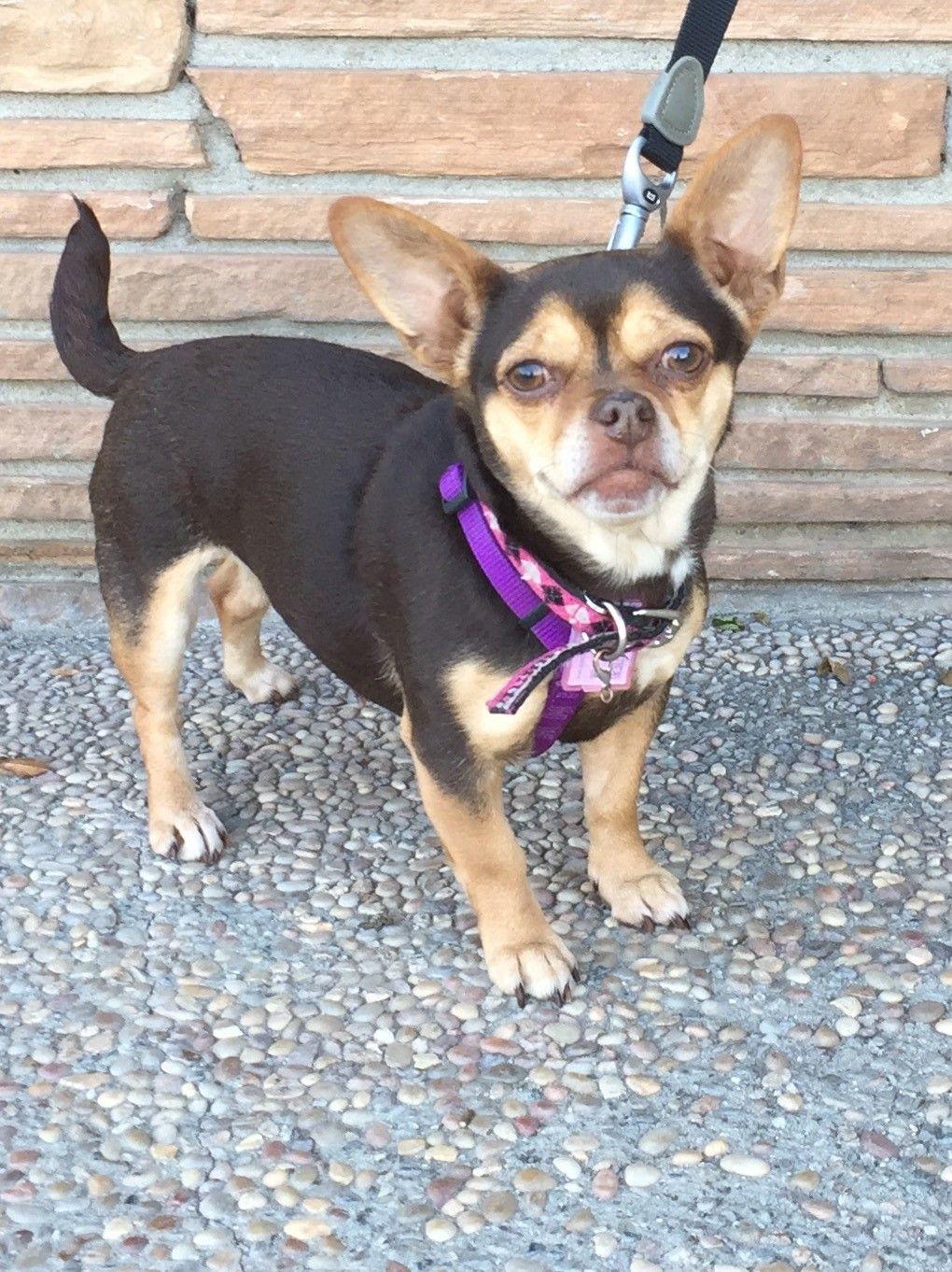 French Bullhuahua dog for Adoption in Santa Cruz, CA. ADN