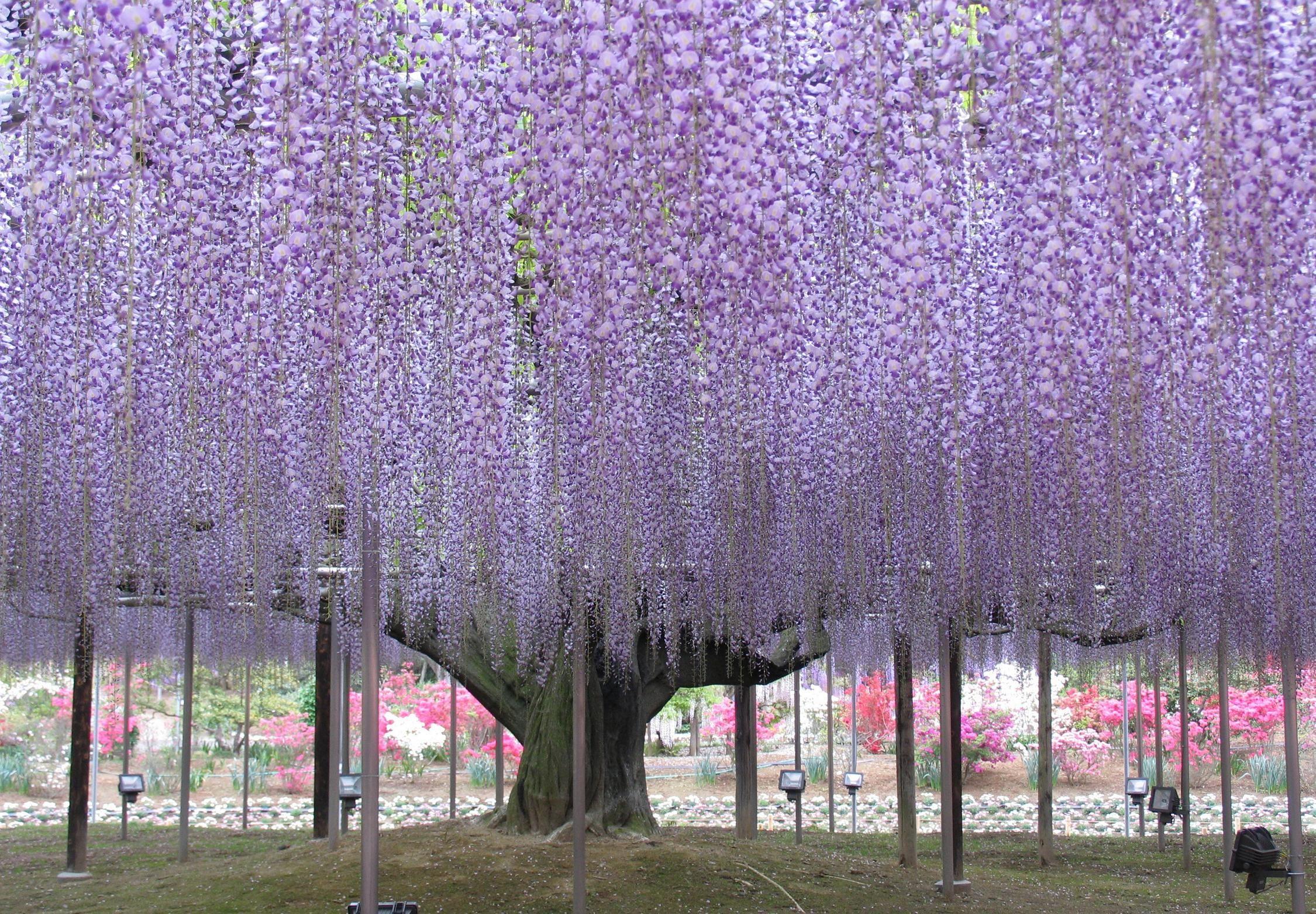 Ashikaga Flower Park Japanese Wisteria Japan Flower Garden Wisteria Tree Wisteria