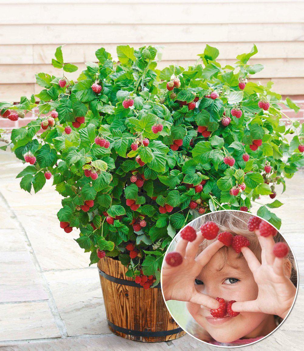 Topf-himbeere 'ruby Beauty®', 1 Pflanze | Garten, Töpfe Und Schönheit Gemuse Im Blumentopf Tipps Pflege