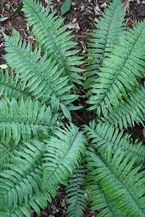 Dryopteris stenolepis Dry shade plants, Shade perennials