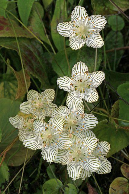 Parnassia Asarifolia Blue Ridge Parkway Jackson County North Carolina 1 Most Beautiful Flowers Beautiful Flowers Jackson County