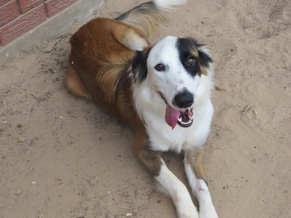 Carson is a 1.5 year old male border collie mix looking