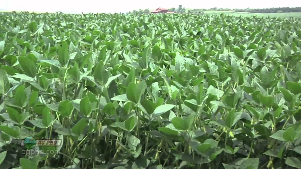 Soybean growth stages education pinterest nvjuhfo Images