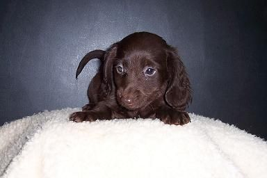 Solid Chocolate Long Haired Dachshund Puppy Dachshund Dachshund Puppy Long Haired Pet Hacks