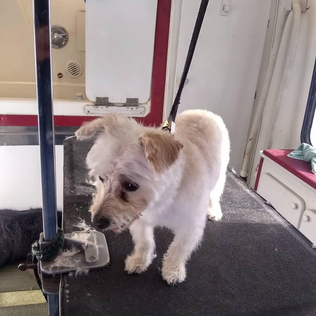 A Like A New Puppy Doggo Denver Doggrooming Doggroominglife