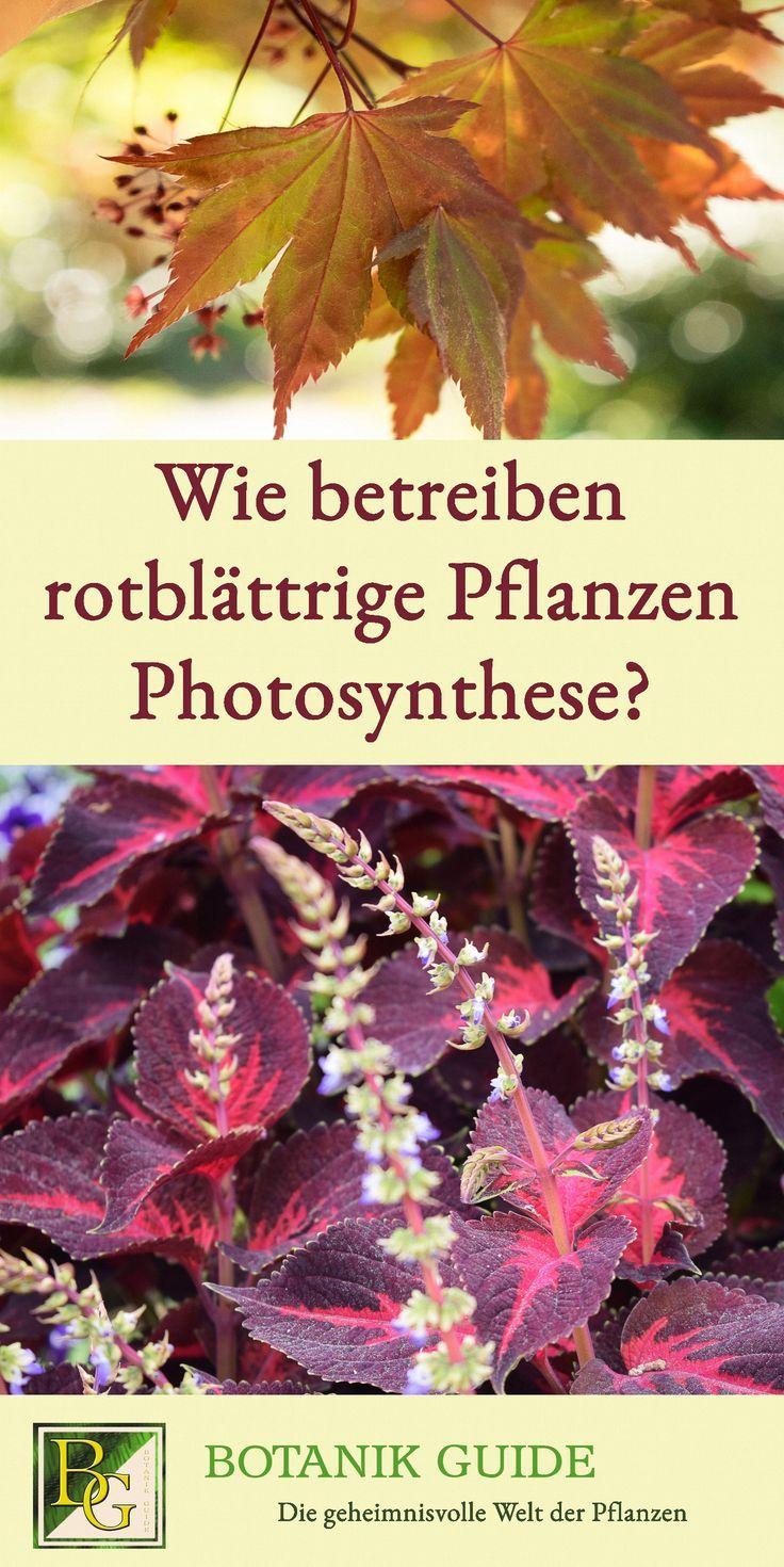 wie betreiben rotblättrige pflanzen photosynthese