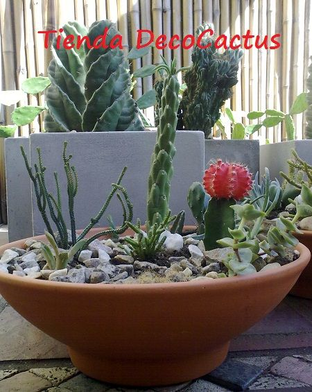 Tienda decocactus cactus crasas suculentas macetas de - Cactus en macetas pequenas ...