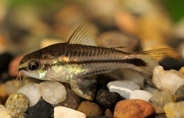 Pygmy Corydoras Aquarium Fish Aquarium Catfish Tropical Fish