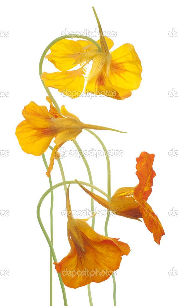 Nasturtium flowers — Stock Photo © _Vilor #