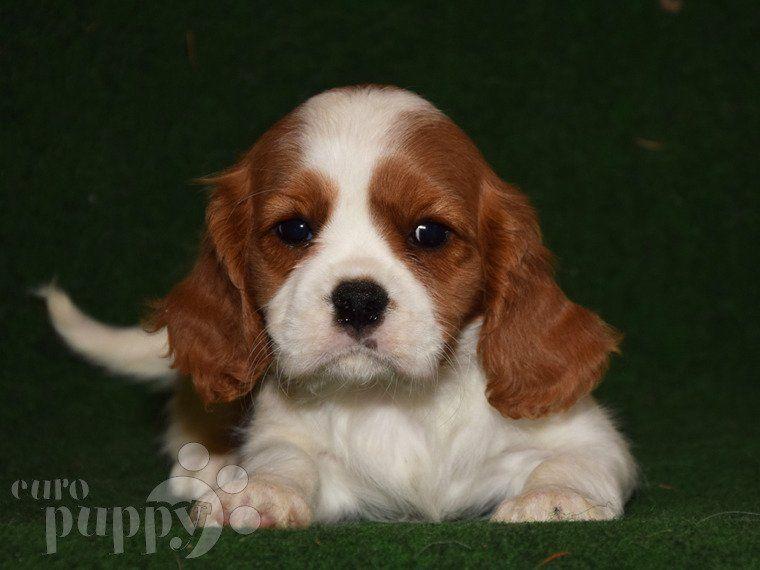 Sasha Cavalier King Charles Spaniel Puppy For Sale Euro Puppy In 2020 Spaniel Puppies For Sale King Charles Cavalier Spaniel Puppy Cavalier King Charles Spaniel