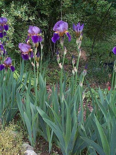 Bearded Iris Google Search Iris Perennials Garden