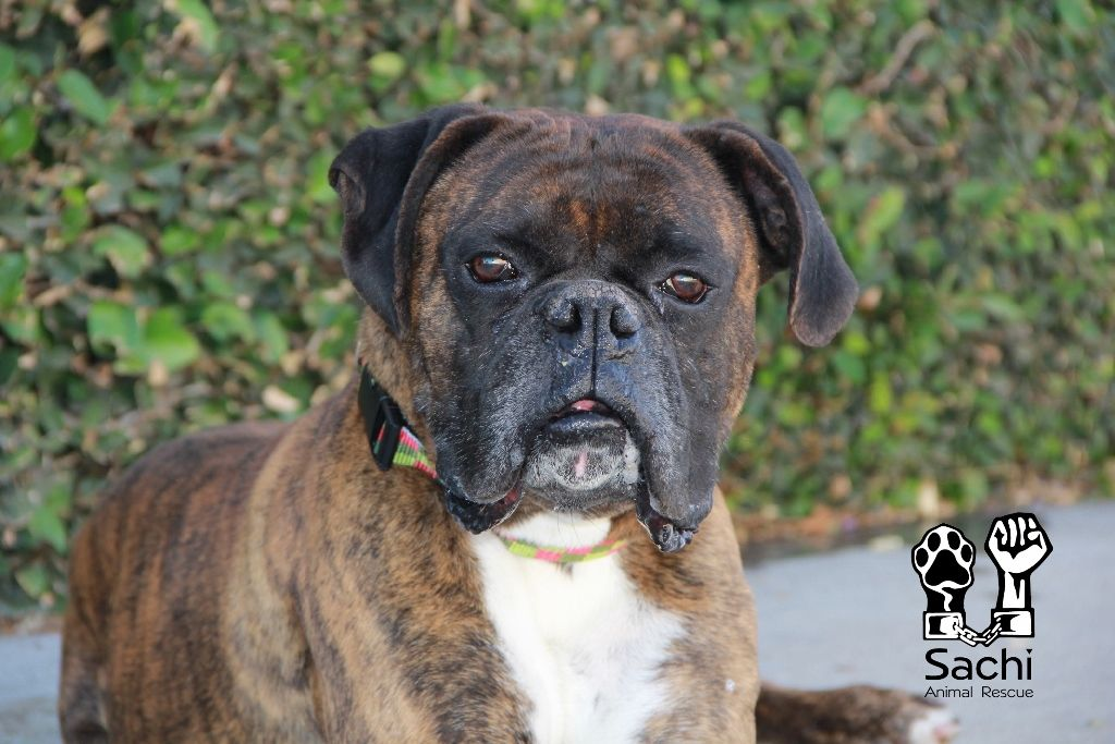 Boxer Dog For Adoption In Los Angeles Ca Adn 540236 On Puppyfinder Com Gender Male Age Young Dog Adoption Boxer Dogs