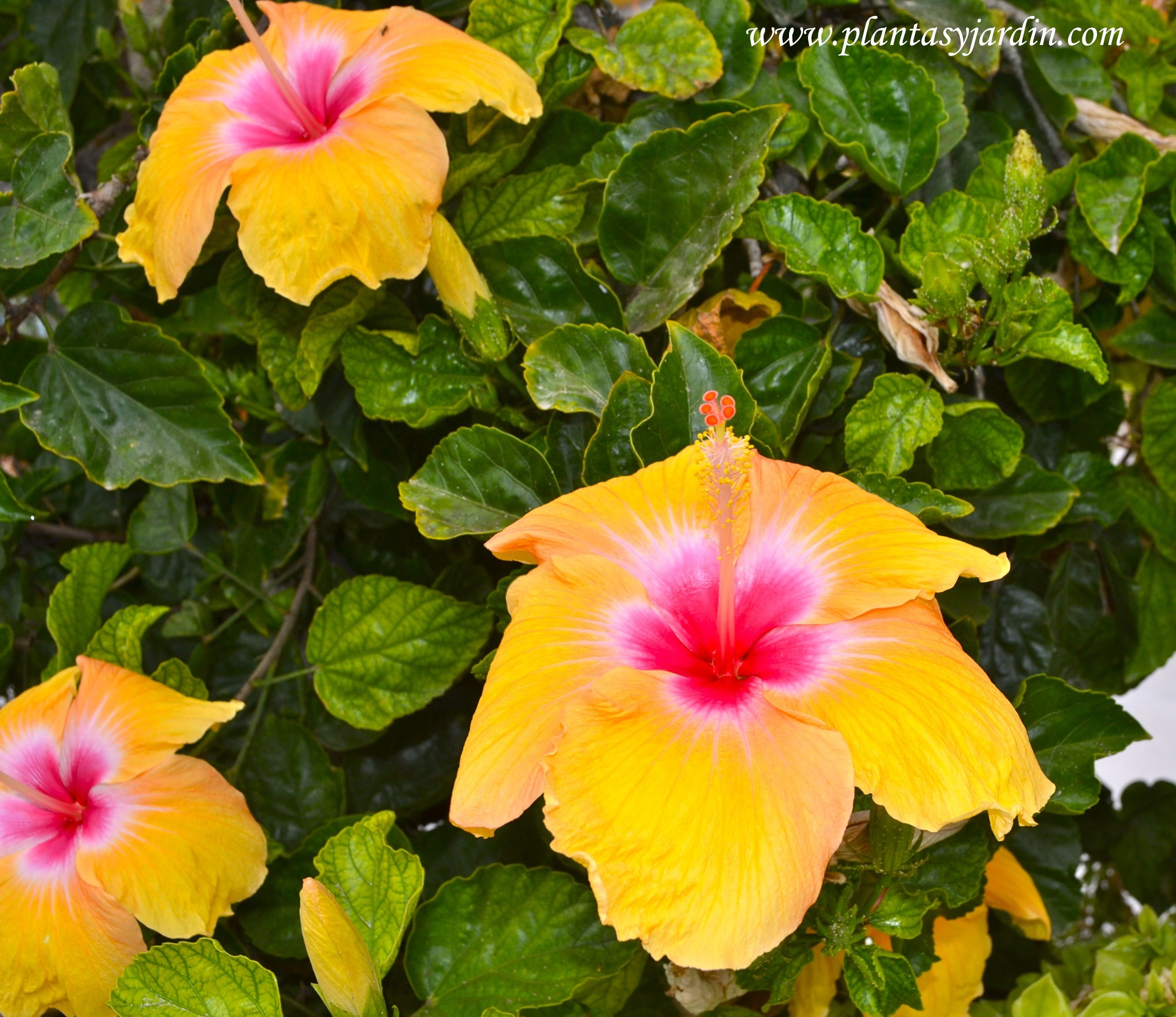 Rosa china Hibiscus rosa sinensis amarilla | NAT | Pinterest ...