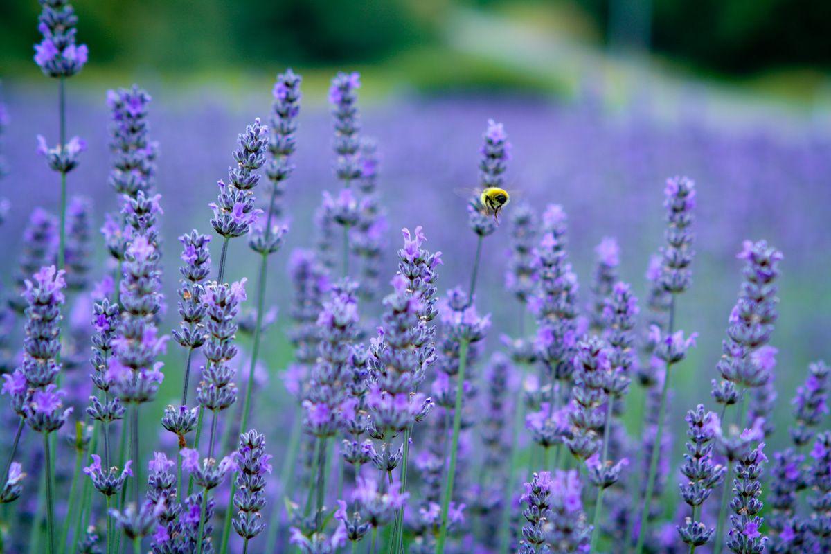 Lavender Fields in Washington