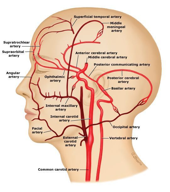 Anatomical location of the external carotid artery (source ...