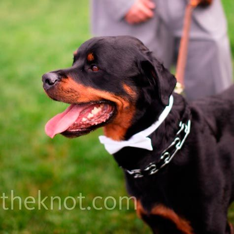 The Couple S Rottweiler Sported A White Bow Tie And Joined The