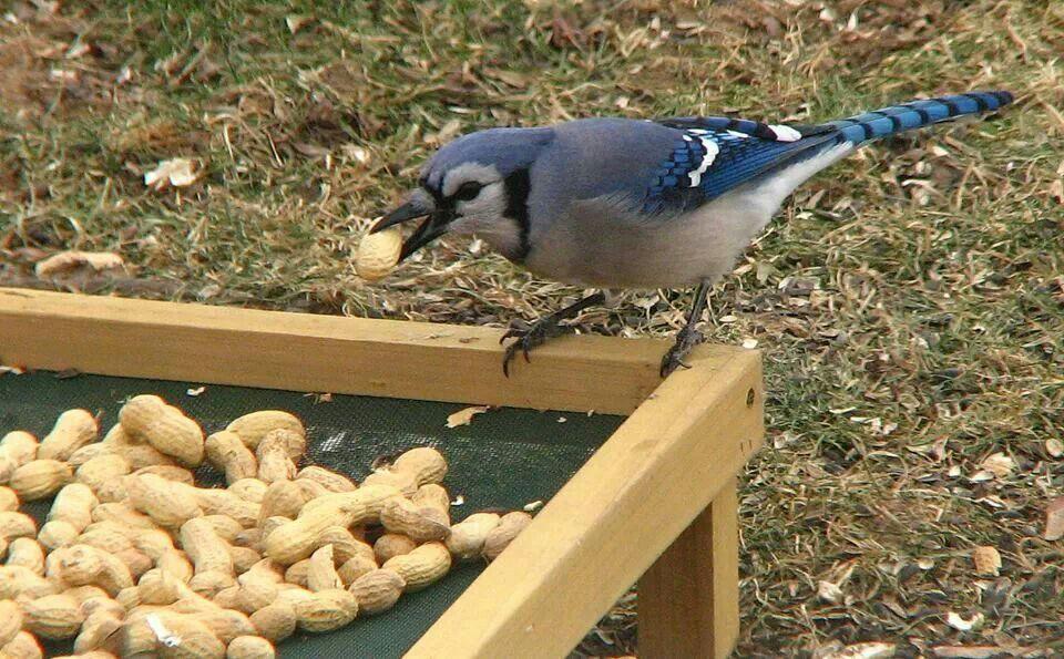 Blue jay enjoying peanuts
