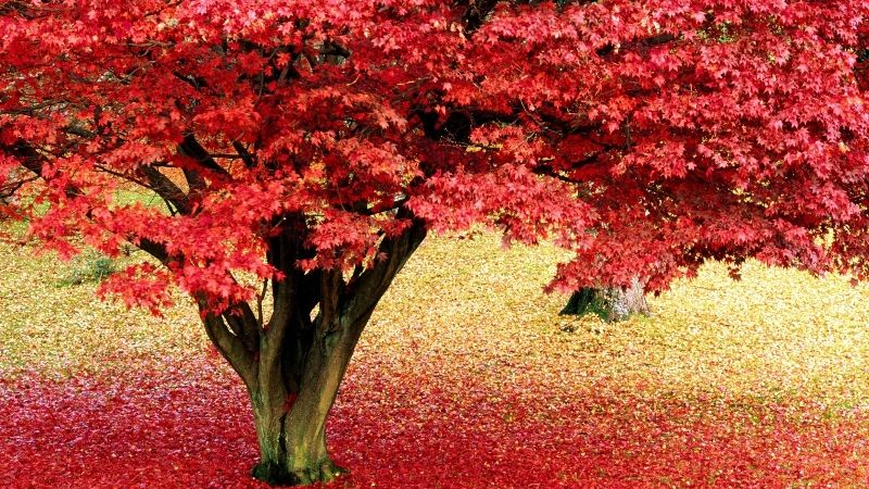 Ewallpaper Brings Maple Tree Hd Wallpapers Pictures For Your