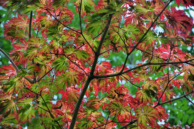 Japanese Maples Acer Japonicum Aconitifolium Also Known As Fern
