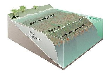 Diagram Of A Fringing Coral Reef A Fringing Reef Is One Of The Three Main Types Of Coral Reefs Recognized By Coral Reef Coral Reef Biome Coral Reef Ecosystem