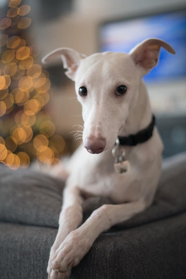 Pin By Stefan Meusel On It S A Whippet Thing Dogs Whippet Dog Whippet Puppies