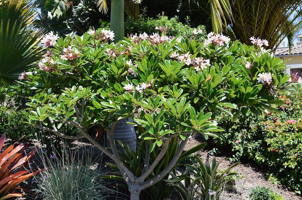 Plumeria Obtusa Dwarf Singapore Pink This Attractive True Dwarf Variety Can Easily Be Grown In A Pot And If Give Plumeria Tree Planting Flowers Ferns Garden