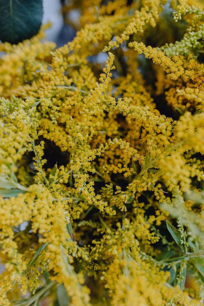 Download Premium Image Of Closeup Of Yellow Mimosa Flowers 540935 In 2020 Mimosa Flower Yellow Flowers Bouquet Beautiful Bouquet Of Flowers