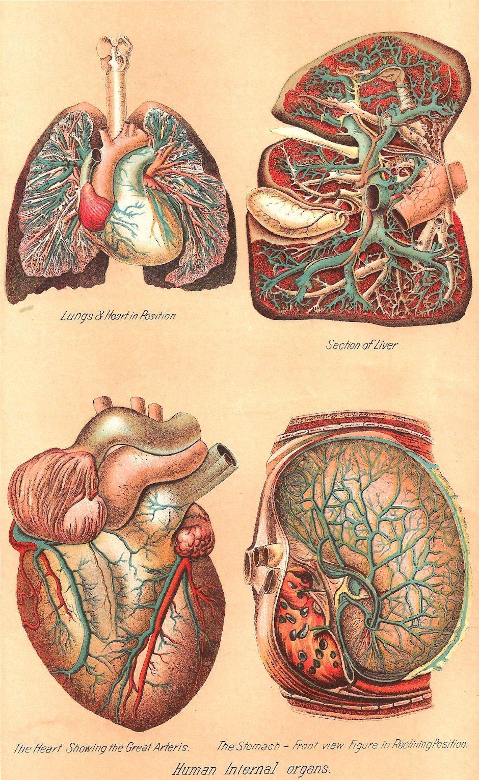Framed Print Vintage Human Internal Organs Picture Medical Heart