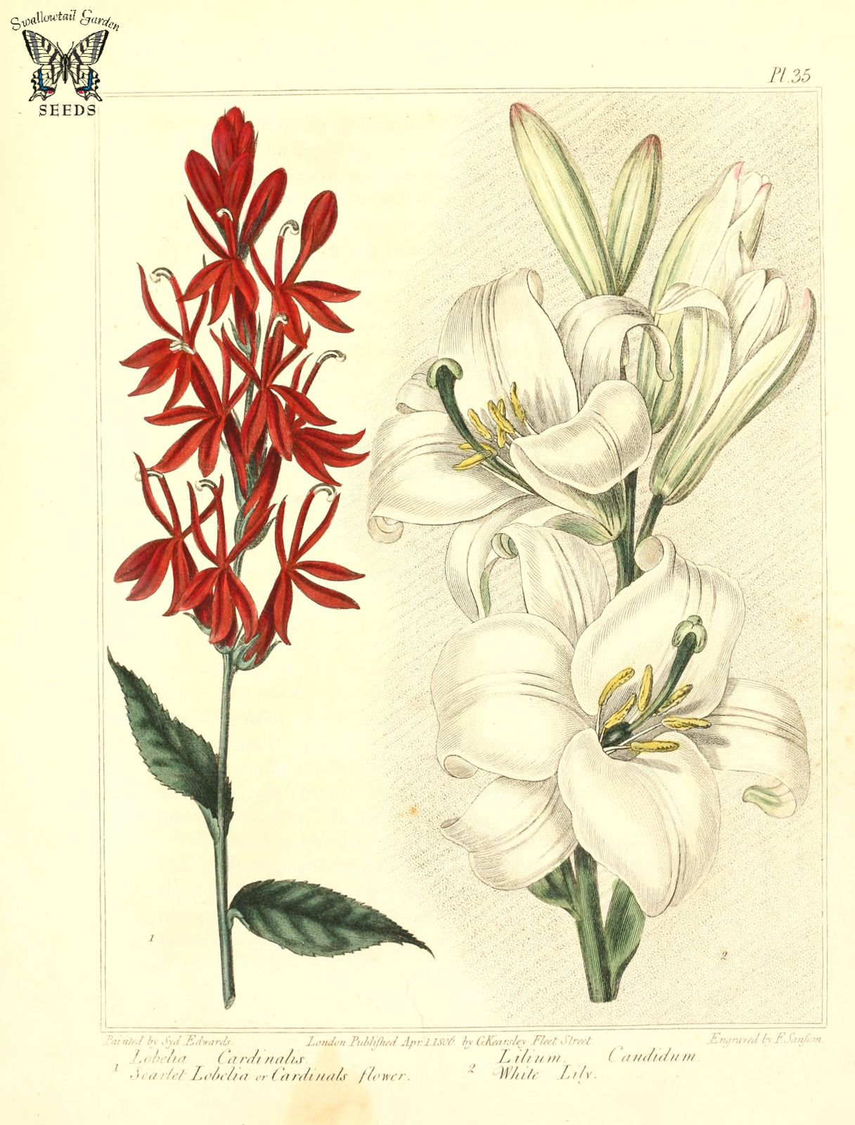 Scarlet Lobelia Cardinal Flower Lobelia Cardinalis And White Lily