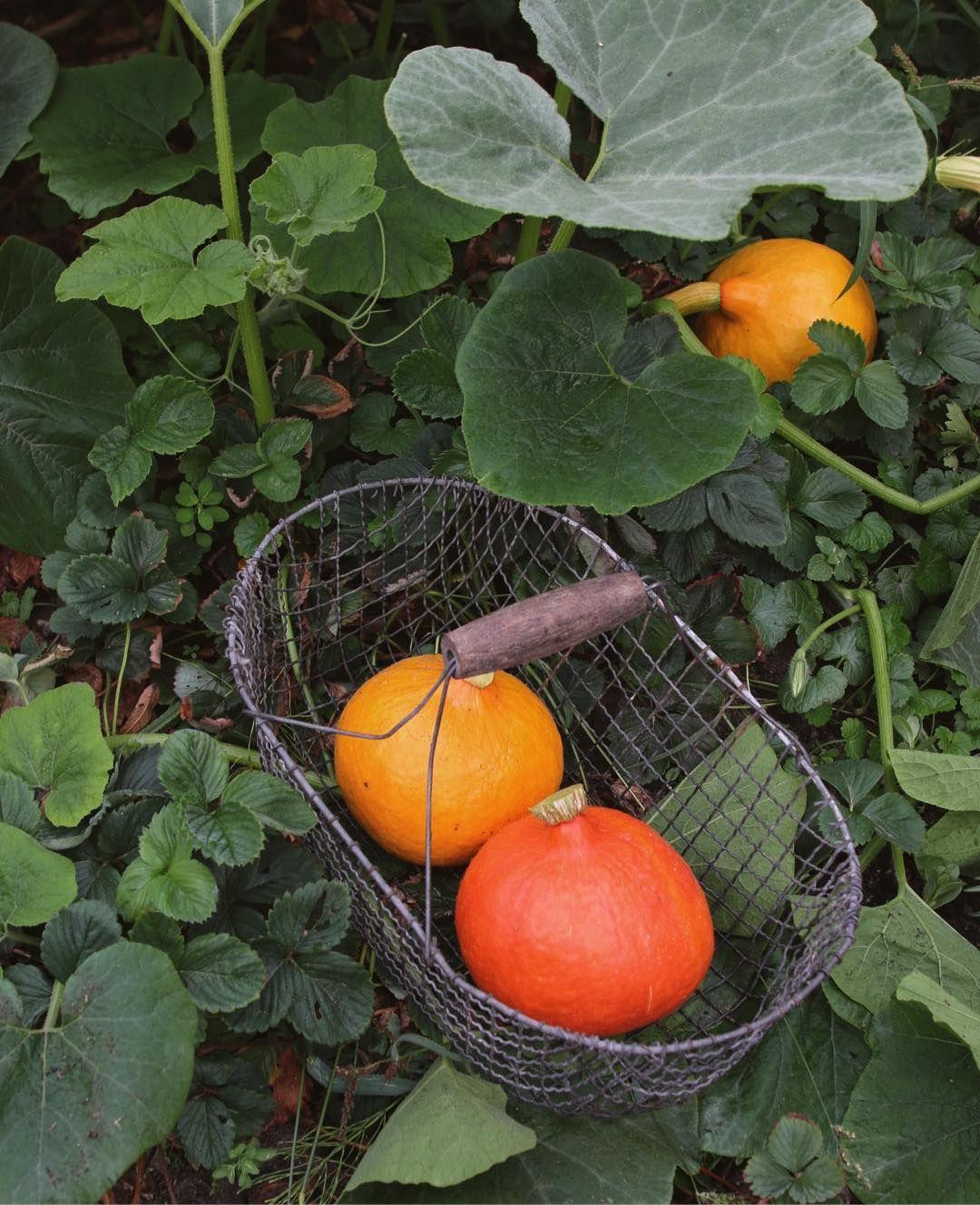 Kurbis Und Tomatenernte Am Fruhen Morgen Heute Ist Einkochtag Garten Landl Einkochen Ernte Tomaten