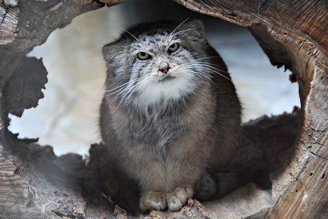 Chat de Pallas | A - חתולי בר 2 | Pinterest | Cat, Animal ...