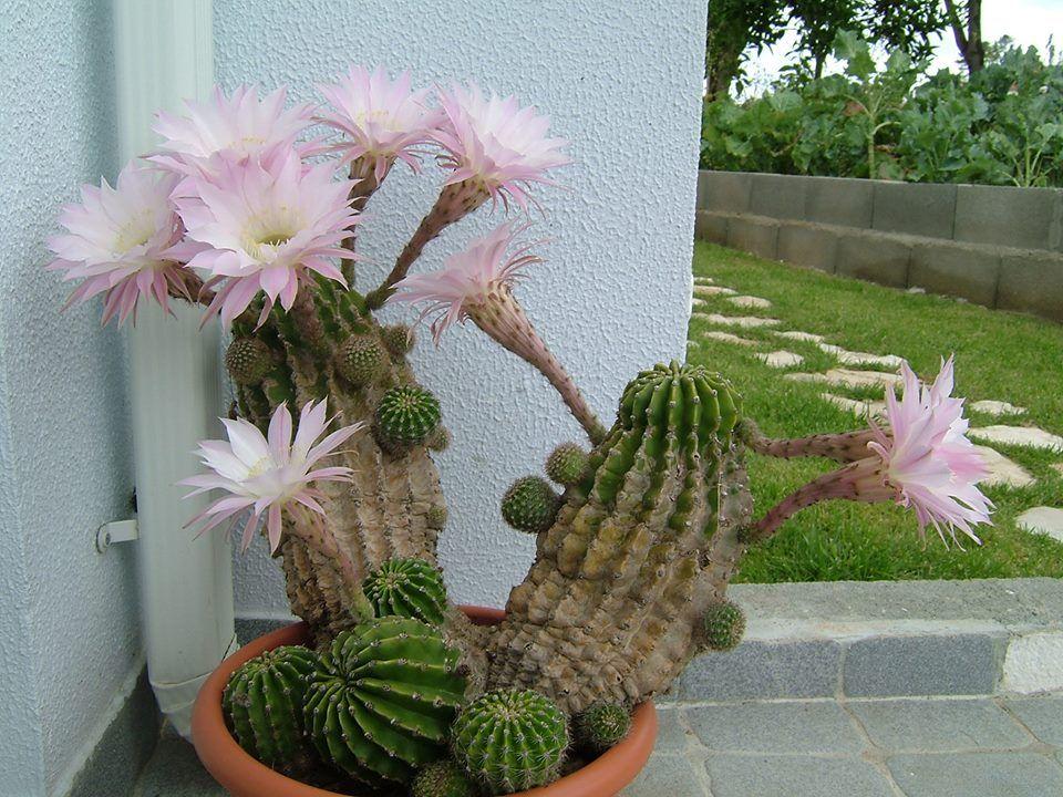Cacto-ouriço (Echinopsis werdermannii)  Com origem paraguaia esse cacto é cultivado em jardins e vasos como planta decorativa.